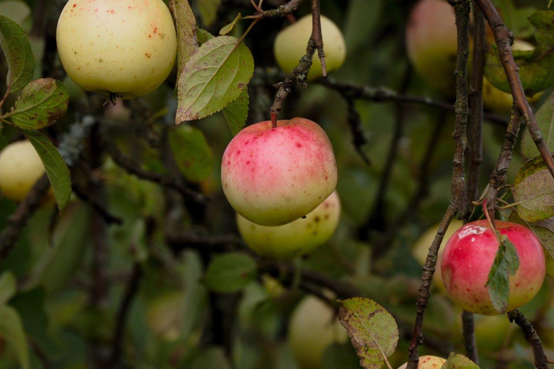 Lietuvoje mažose parduotuvėlėse prekyba obuoliais sustojo.<br>V.Ščiavinsko nuotr.