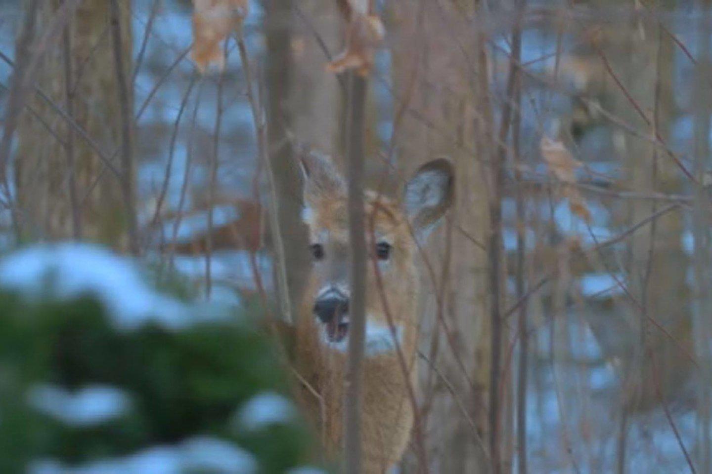 Pareigūnai aptiko sodyboje prie grandinės prirakintą stirniuką. Jį iš miško parsinešė žinomas brakonierius.<br>Stop kadras
