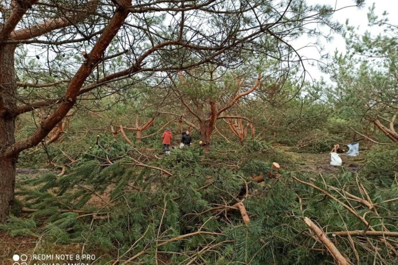 Planuojama, kad iki kovo pabaigos bus išaižyta iki 40-50 tonų kankorėžių. Kasmet Valstybinių miškų urėdija surenka iki 2 500 kilogramų medžių sėklų, kurios saugomos miško sėklų sandėlyje-šaldytuve.<br>vivmu.lt nuotr.