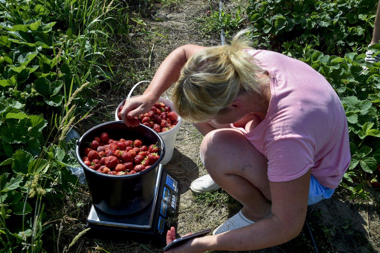 Įprastai pirmavusį paslaugų sektorių pralenkė žemės ūkio įmonės – jos pernai pasiūlė daugiausia, beveik pusę visų sezoninio darbo vietų.<br>V.Ščiavinsko nuotr.