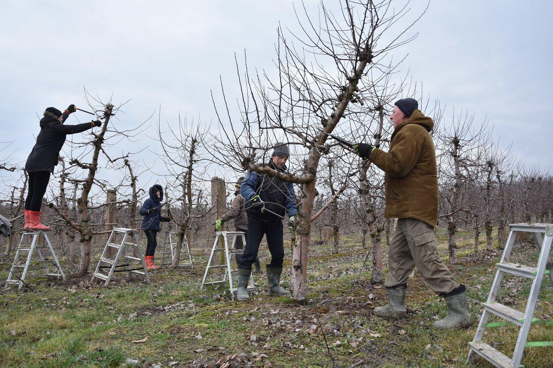 Įprastai pirmavusį paslaugų sektorių pralenkė žemės ūkio įmonės – jos pernai pasiūlė daugiausia, beveik pusę visų sezoninio darbo vietų.<br>A.Srėbalienės nuotr.