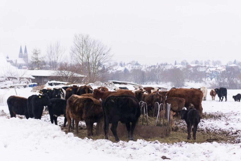 Žiemą besiganančių karvių šeimininkas, Panevėžio rajono ūkininkas A. Augėnas aiškino, kad hailendų veislės karvėms labiau patinka būti lauke nei pastogėje.<br>R.Ančerevičiaus nuotr.