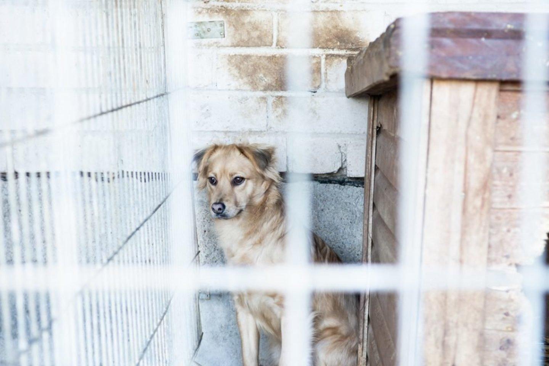 """Gyvūnų prieglaudos savanoris Justinas Stašys savaitraščiui """"Tėvynė"""" pasakojo, kad iš prieglaudos tiek šventiniu, tiek pandemijos laikotarpiais žmonės paima augintinius ir priglaudžia savo namuose.<br>jp.lt ir R.Ančerevičiaus nuotr."""