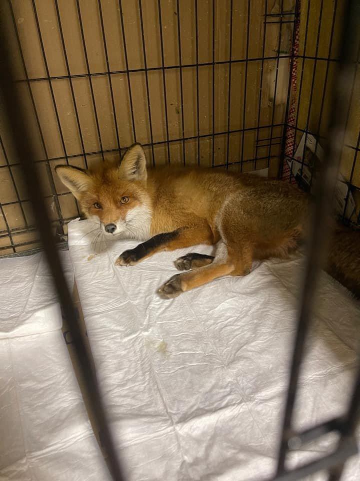 Sužeistas gyvūnas neišgyveno.<br>K.Urbonaitės nuotr.