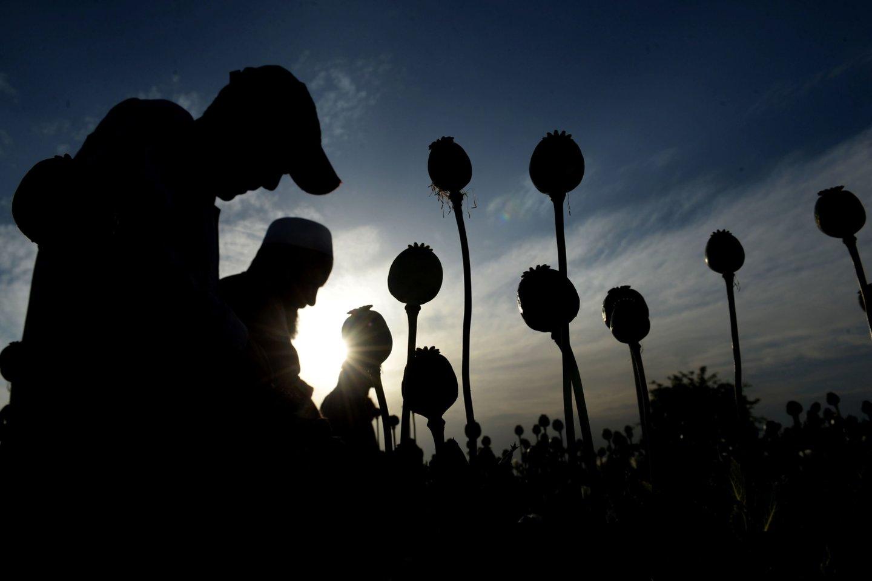 Opijus gaunamas iš aguonų.<br>Scanpix/AFP nuotr.