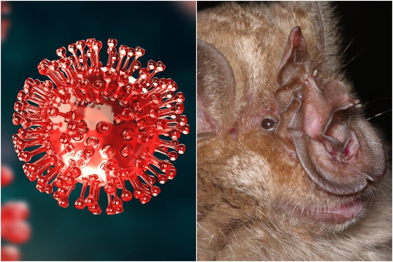 Ekspertai mano, kad ligos, jau nusinešusios daugiau kaip 2,3 mln. žmonių gyvybių, pirminiai nešiotojai tikriausiai yra šikšnosparniai, bet žmonės koronavirusu galbūt užsikrėtė per kokius nors kitus žinduolius.<br>123rf / Wikimedia commons