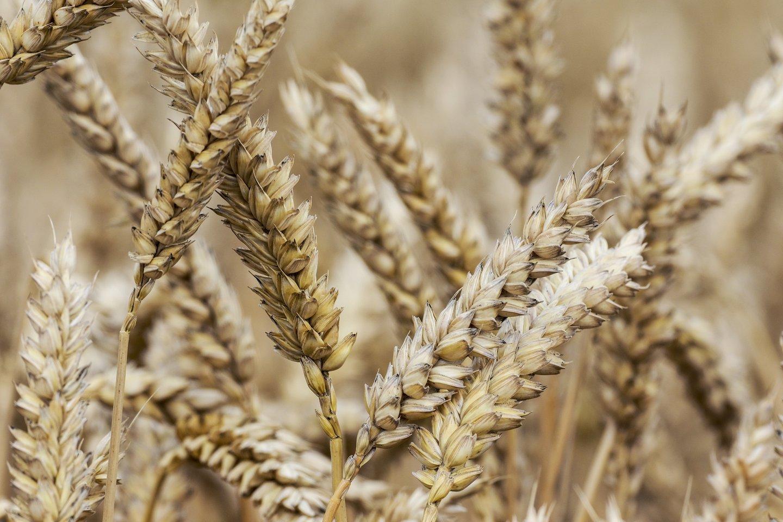 Įvairūs ribojimai, atsargų kaupimo ir logistikos problemos pasaulyje netrukus gali padaryti įtaką žemės ūkio produktų kainoms.<br>V.Ščiavinsko nuotr.