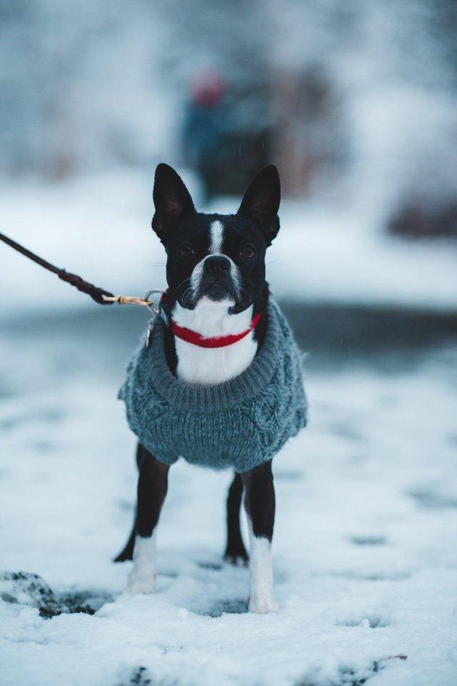 Šuns nepaklusnumas vedžiojant pavadėliu: kaip išvengti augintinio agresijos prieš kitus keturkojus?<br>Pexels.com nuotr.