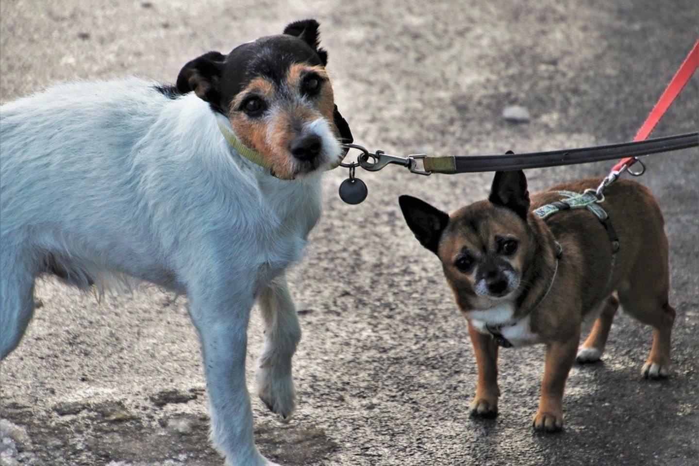 Šuns nepaklusnumas vedžiojant pavadėliu: kaip išvengti augintinio agresijos prieš kitus keturkojus?<br>Pixabay.com nuotr.