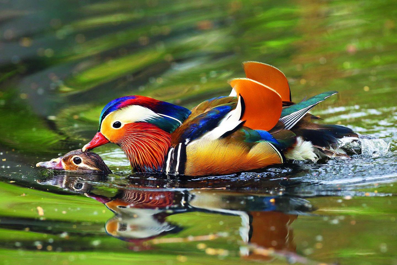 """Dauguma paukščių mėgsta flirtą ir nėra ištikimi, tačiau yra ir tokių, kurie pasensta su ta pačia išrinktąja, ir tokių, kurie labiausiai vertina vienatvę arba sukuria homoseksualią šeimą.<br>""""123rf.com"""" nuotr."""