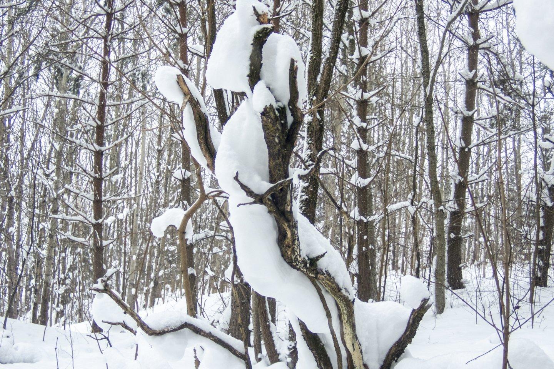 Biokuras importuojamas, o vietinė mediena pūva miške.<br>V.Ščiavinsko nuotr.
