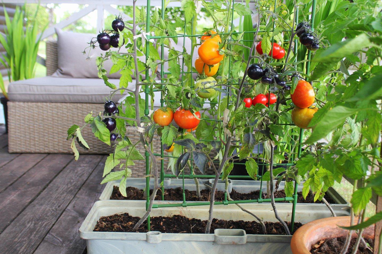 Saulėtuose balkonuose sėkmingai užaugs ir šilumą bei saulę labai mėgstantys augalai, pavyzdžiui, žemaūgiai vyšniniai pomidorai ar paprikos.<br>123rf nuotr.