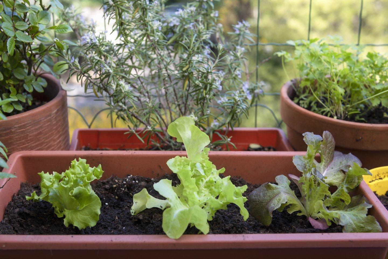 Jei balkonas pirmajame aukšte, o namas stovi greta gatvės, auginti vaistažolių, prieskoninių žolių ar daržovių nerekomenduojama – kenksmingų medžiagų kiekis augaluose tokiu atveju bus didesnis nei naudingųjų medžiagų.<br>123rf nuotr.