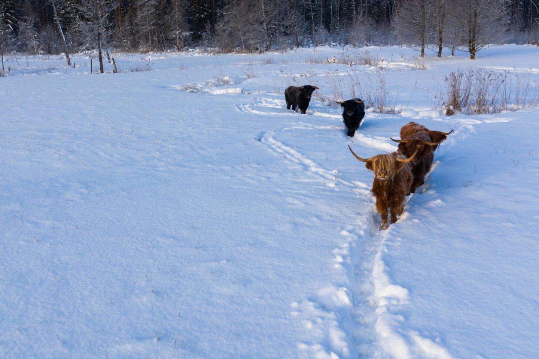 """Kiekvienais metais ir vis dažniau žiemos metu matome bandas galvijų, vaikštančių sniegu nuklotomis pievomis.<br>""""Šilutės naujienų"""" archyvo nuotr."""