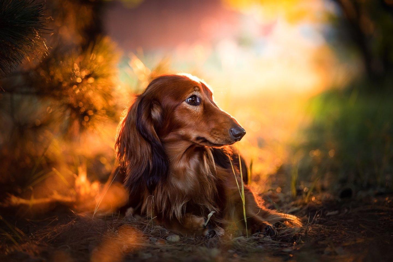 Lilija džiaugiasi, kad jos išveisti šuniukai šiandien gyvena trijuose kontinentuose ir kad jiems puikiai sekasi.<br>J.Tranelytės nuotr.