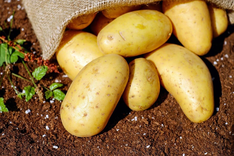 Ūkininkas juokauja, kad bulvė – kaip žmogus, mėgsta komfortą, todėl, kad ji augtų, reikalinga ir tam tikra temperatūra.