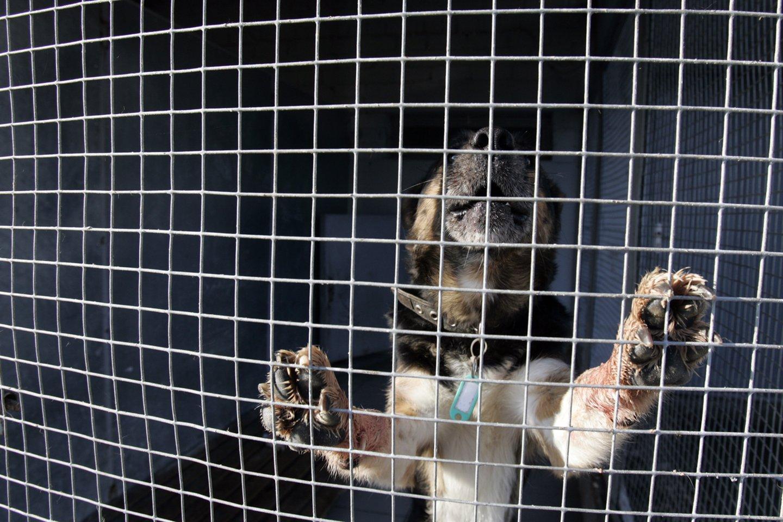 Po gyvūnų daugintojų skandalo Pilionių gyventojui skirta 625 eurų bauda. Iš 35 laikytų šunų paimta ir perduoda gyvūnų globėjams per tuziną keturkojų.<br>V.Balkūno asociatyvi nuotr.