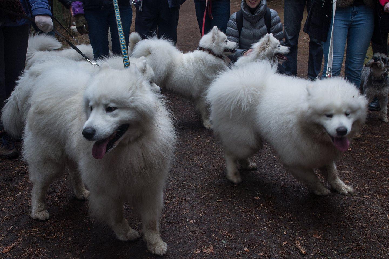 Samojedų šunys.<br>V.Ščiavinsko asociatyvi nuotr.