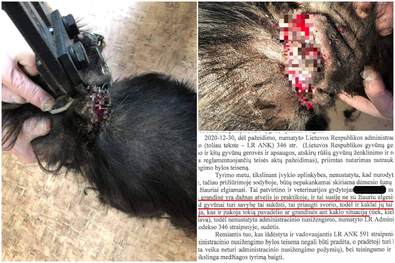 Gyvūnų globėjus sukrėtusi istorija: į menko kiemsargio kaklą įaugusi dviguba grandinė, tačiau veterinarinėje išvadoje dėl to kaltas... pats kaklas.<br>GGI archyvo nuotr.