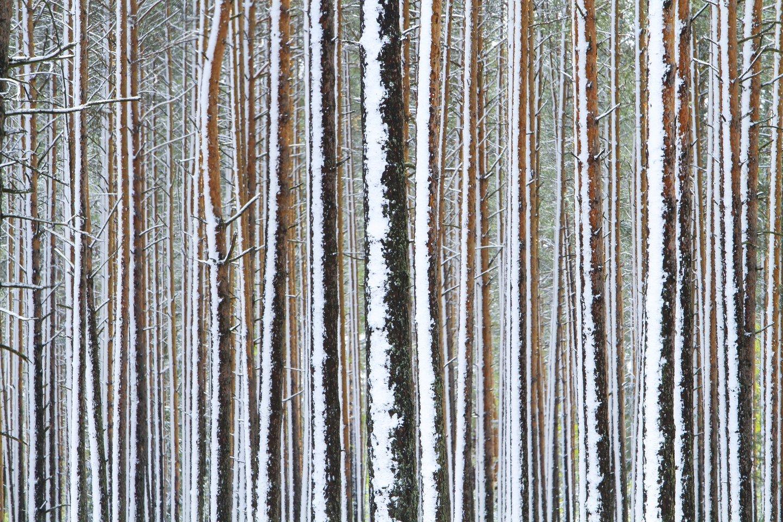Sniegas,pavasaris,miškai,medžiai,orai<br>V.Ščiavinsko nuotr.