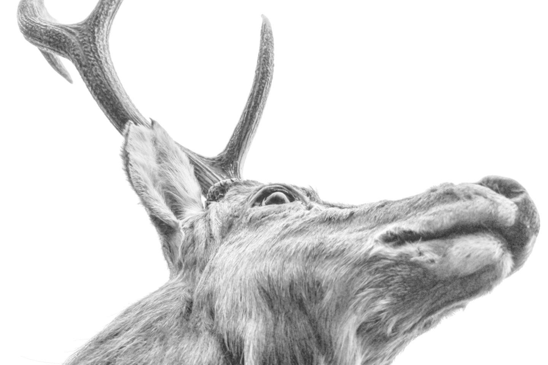 """Nauja JAV Nacionalinės elnių asociacijos žurnalo """"Quality Whitetails"""" ataskaita atkreipė dėmesį į labai retą atvejį – elnią su plaukuotais akių obuoliais (asociatyvinė nuotr.)<br>123rf nuotr."""