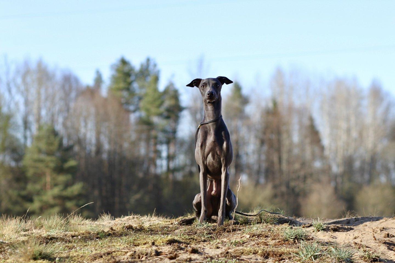 """Levretės – jautrios ir švelnios, tačiau posakis """"mažas šuo – didelė asmenybė"""" joms net labai tinka.<br>Ž.Bilotaitės-Jokubauskienės nuotr."""