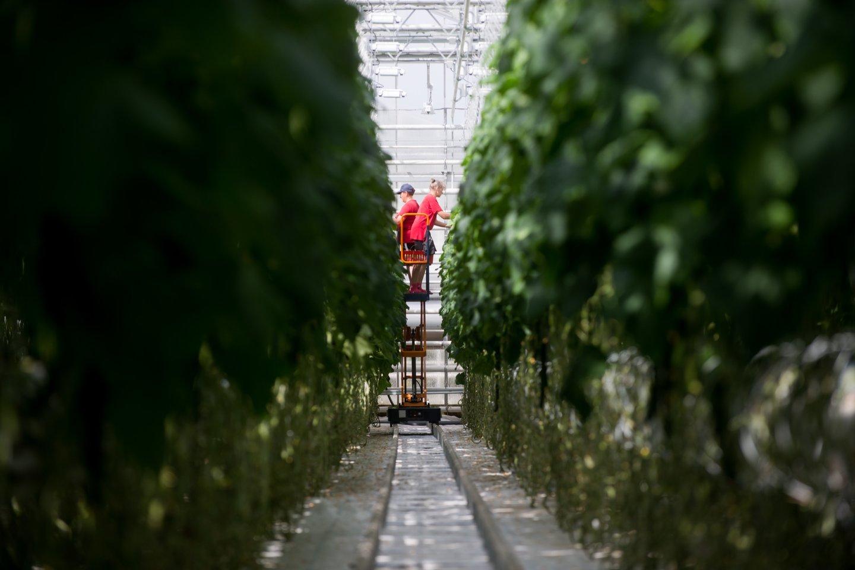 Parduotuvių lentynos lietuviškomis daržovėmis – agurkais, salotomis ir pomidorais – nukrautos jau nuo pirmos kovo savaitės.<br>J.Stacevičiaus nuotr.