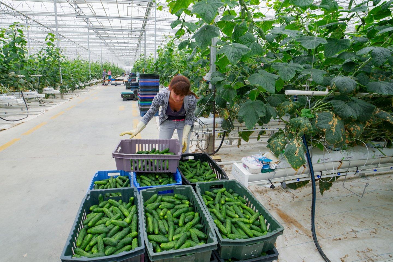 Parduotuvių lentynos lietuviškomis daržovėmis – agurkais, salotomis ir pomidorais – nukrautos jau nuo pirmos kovo savaitės.<br>V.Ščiavinsko nuotr.