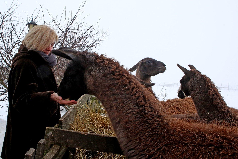 Lamos yra mieli gyvūnai, tačiau tuos, kurie erzina, jos gali apspjauti.<br>M.Patašiaus nuotr.