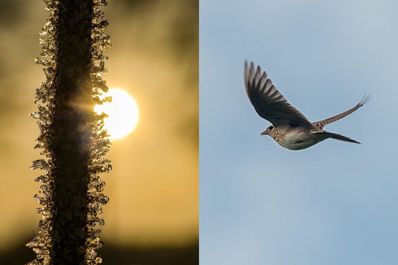 Nuo senovės kovo 10-ąją Lietuvoje švenčiama keturiasdešimties paukščių diena, simbolizuojantis paukščių parskridimas.<br>V.Ščiavinsko nuotr.