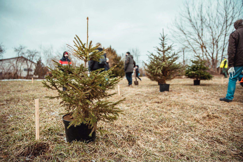 Sodinti Kalėdų mišką panoro visas būrys vilniečių.<br>Adomo Kačerausko nuotr.