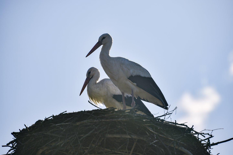Pirmuosius gandrus ornitologai pamaryje pamatė šios savaitės pradžioje.<br>V.Ščiavinsko nuotr.