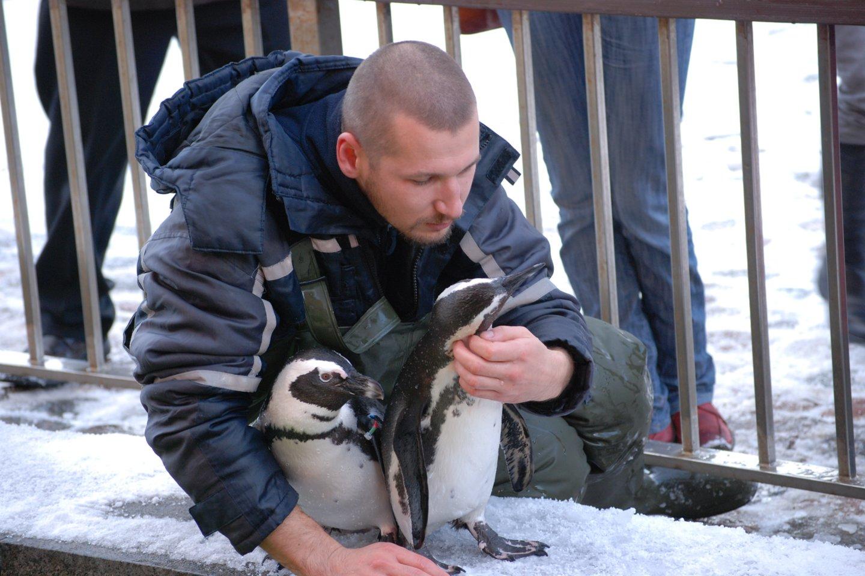 Pingvinai prie Pavelo pripratę, o kitų žmonių prisibijo.<br>Asmeninio archyvo nuotr.