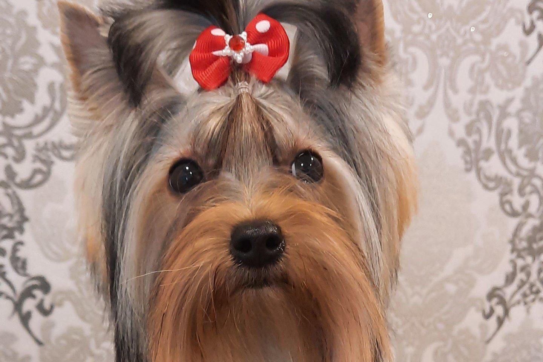 Šis Jorkšyro terjeras tapo sukčiaus grobiu.<br>Pasisavinto šuns nuotr.