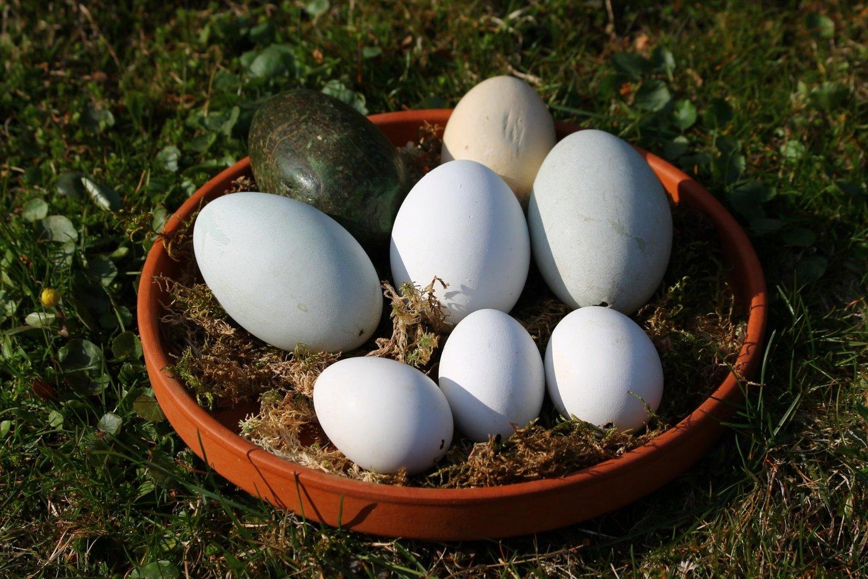 Lietuvos zoologijos sodo paukščių grupės specialistams mediniai kiaušinių muliažai padeda išsaugoti ne vieną paukščių padėtą kiaušinį.<br>Lietuvos zoologijos sodo nuotr.