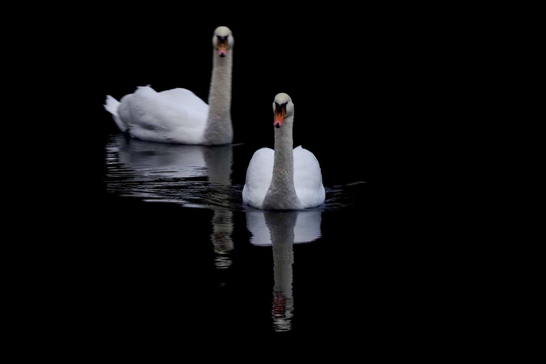 Kraupus radinys: upėje aptiko negyvas gulbes, įtaria, kas lėmė paukščių mirtį.<br>V.Ščiavinsko nuotr.