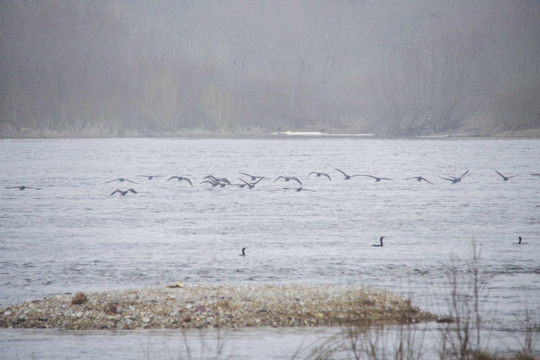Paukščiai Rusnėje.<br>V. Ščiavinsko nuotr.