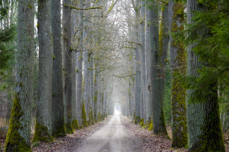 Medžių alėja miške.<br>V. Ščiavinsko nuotr.
