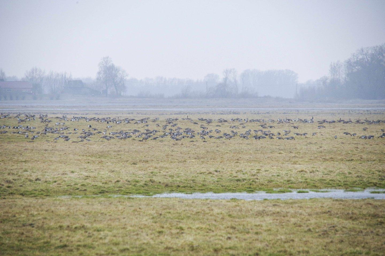 Paukščiai Rusnės apylinkėse.<br>V. Ščiavinsko nuotr.