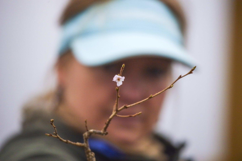 Pavasario žiedai.<br>V. Ščiavinsko nuotr.