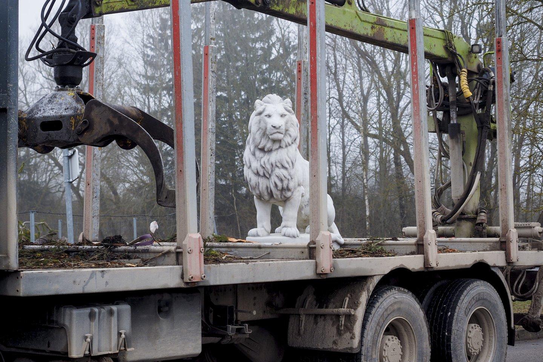 Liūtas kelyje.<br>V. Ščiavinsko nuotr.