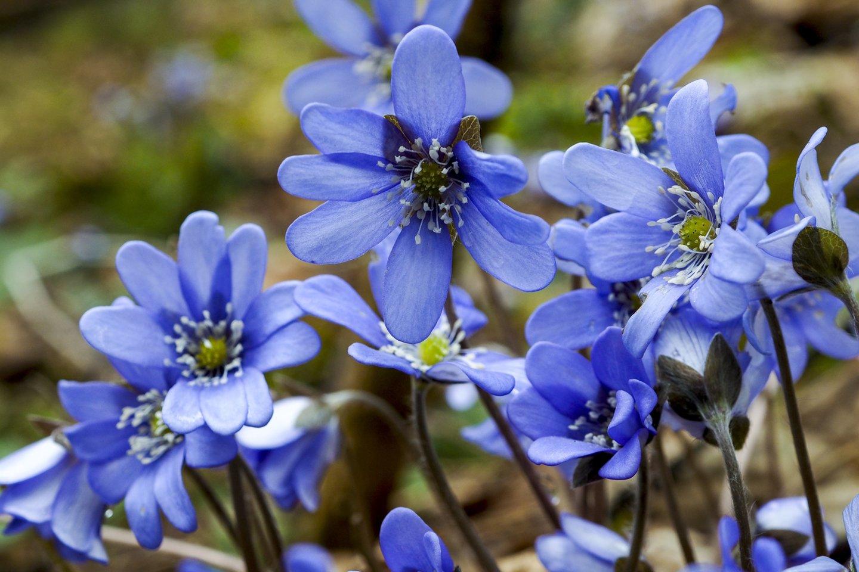"""""""Pavasaris neišvengiamai nugalės"""", – sakė T.Kaunienė.<br>V.Ščiavinsko nuotr."""