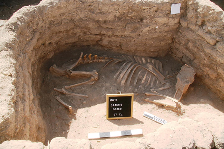 Archeologai taip pat rado kelis palaidojimus: du neįprastus palaidojimus: karvės ar jaučio griaučius (nuotraukoje) ir išskirtinį palaidojimą žmogaus, kurio rankos buvo ištiestos į šonus, o keliai buvo apvynioti virve.<br>Egipto Senienų ministerijos nuotr.