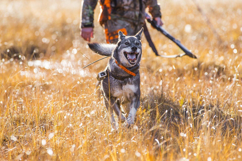 Nuo sužalojimų, susidūrus su laukiniu gyvūnu, dažnai nukenčia ir medžiokliai šunys.<br>123rf nuotr.