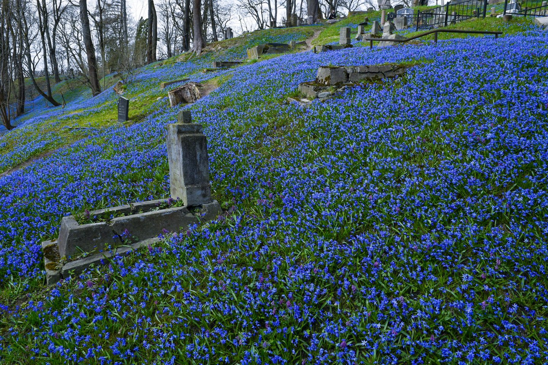 Bernardinų kapinėse sibirinių scylių gausu kaip niekur kitur.<br>V.Ščiavinsko nuotr.