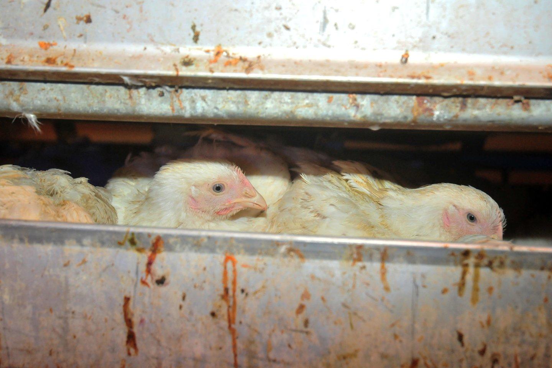 Didžiausią nerimą kelia plintanti didelio patogeniškumo paukščių gripo (H5N8) atmaina ir nustatomi nauji protrūkiai kaimyninės Lenkijos paukštininkystės ūkiuose.<br>A.Vaitkevičiaus nuotr.