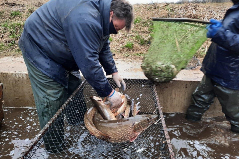 Praneša, nuo kada Lietuvos telkiniuose bus glima žvejoti lydekas.<br>AAD nuotr.
