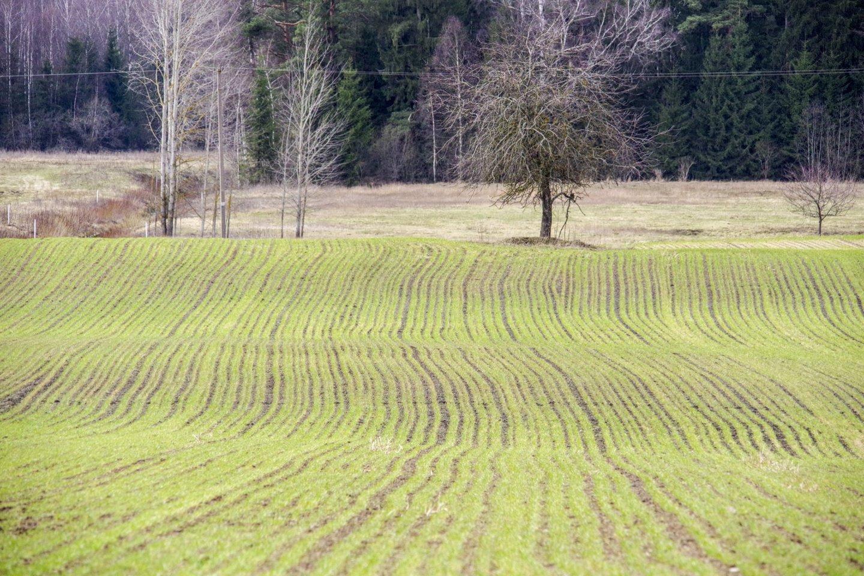 """Pagal priemonę """"Ekologinis ūkininkavimas"""", remiamų augalų rūšių sąrašą 2021 metais papildė bolivinės balandos, rapsukai, judros, pluoštinės kanapės sėklai, sorgai, apyniai, putinų uogynai.<br>V.Ščiavinsko nuotr."""
