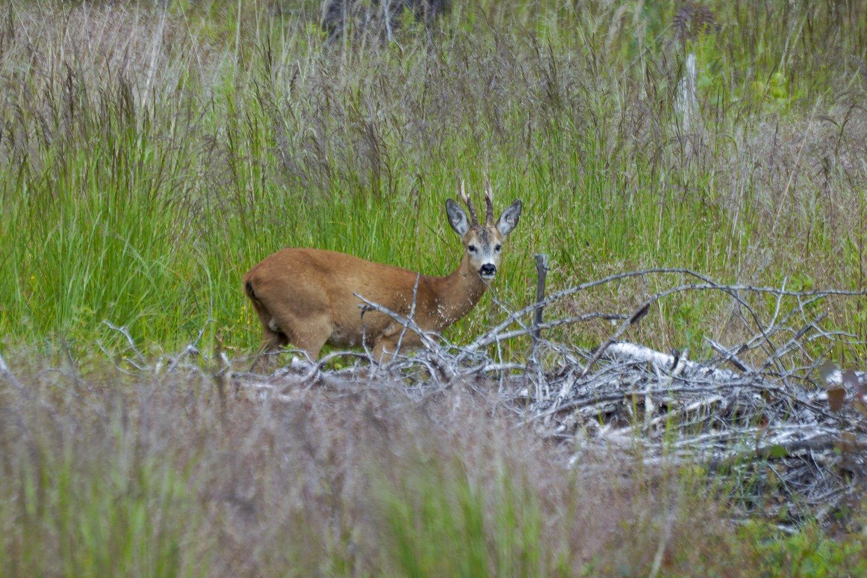 Neteisėtai sumedžiojęs stirną medžiotojas susilaukė aplinkosaugininkų dėmesio<br>V.Ščiavinsko nuotr.