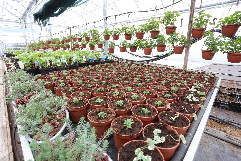 Šaltas pavasaris jaukia sodininkų ir daržininkų planus.<br>M.Patašiaus nuotr.